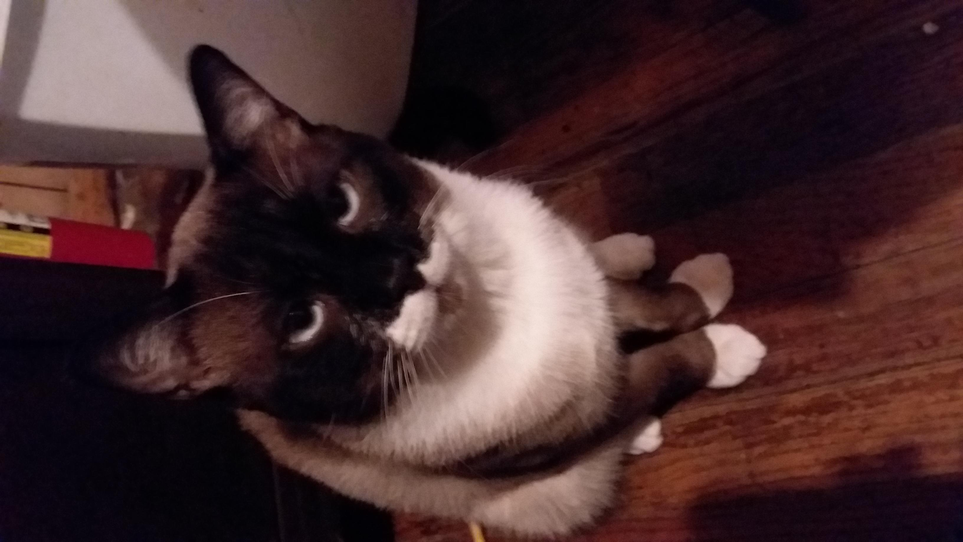 Lost Cat  Biscuit Male    Siamese