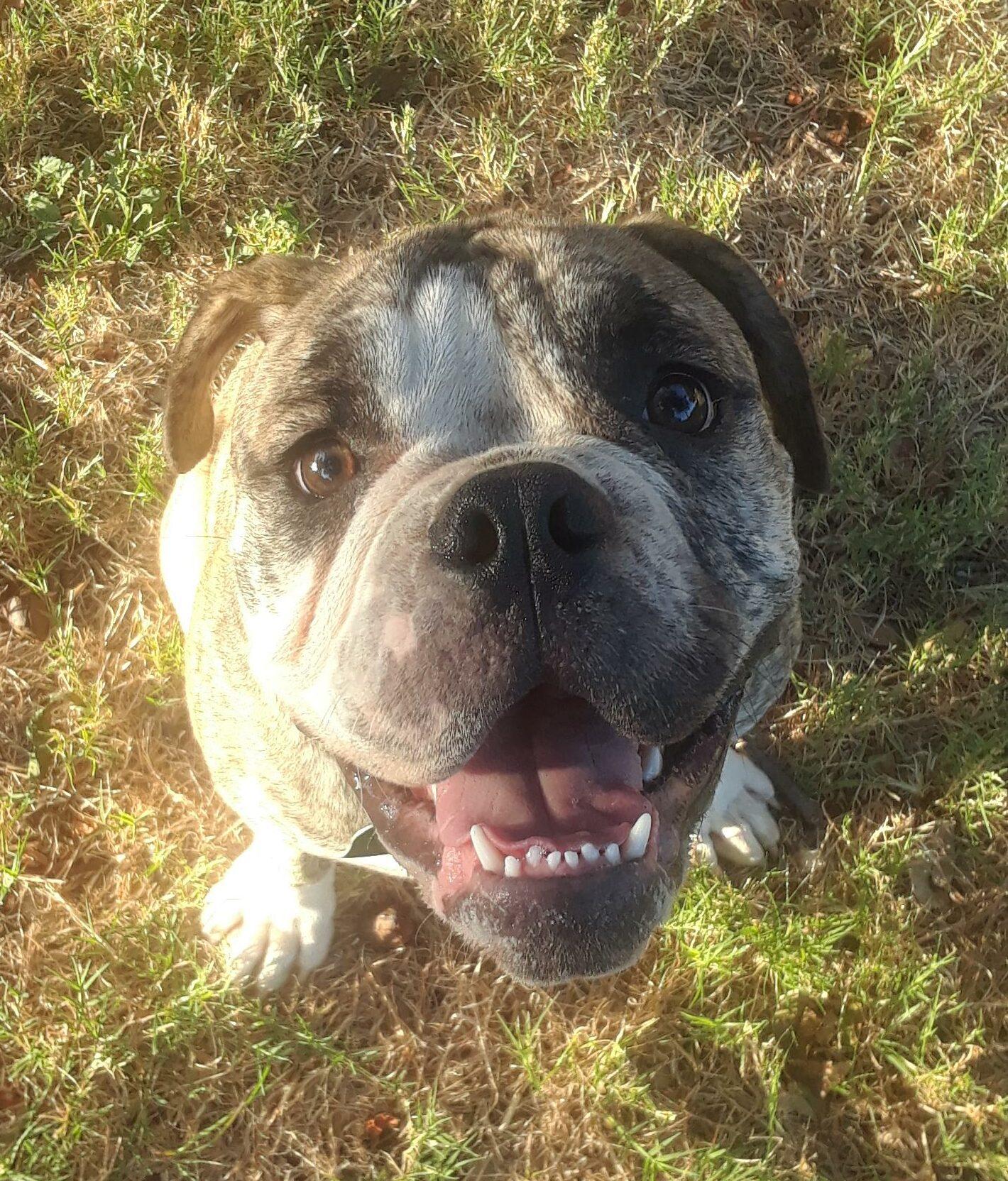 Found Dog   Male   Bulldog