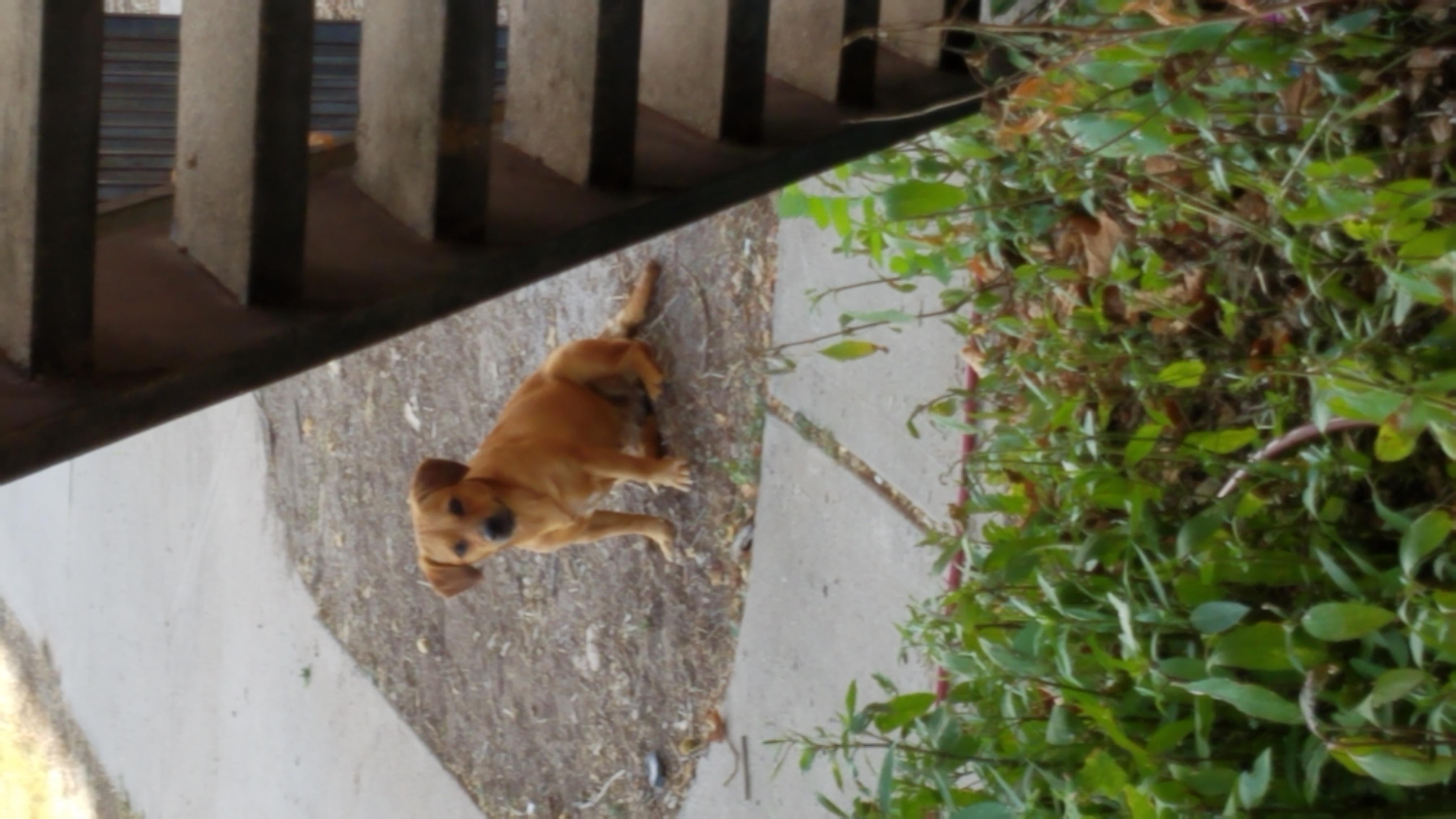 Found Dog   Female Dachshund Unknown Mix