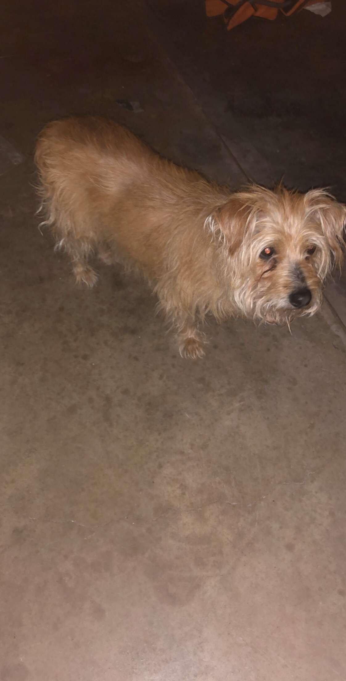 Found Dog   Female   Yorkshire Terrier