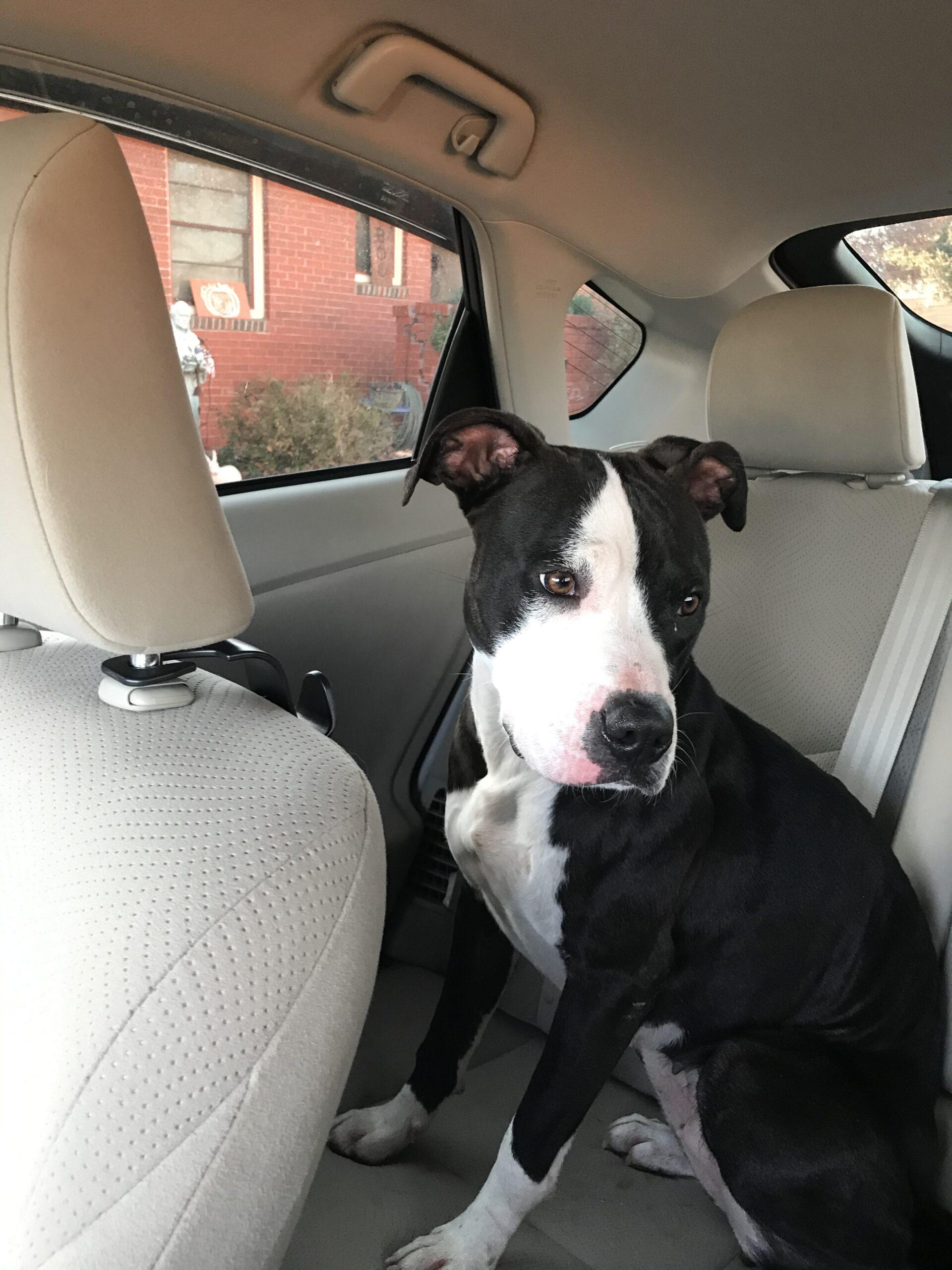 Found Dog   Female   Pit Bull Terrier