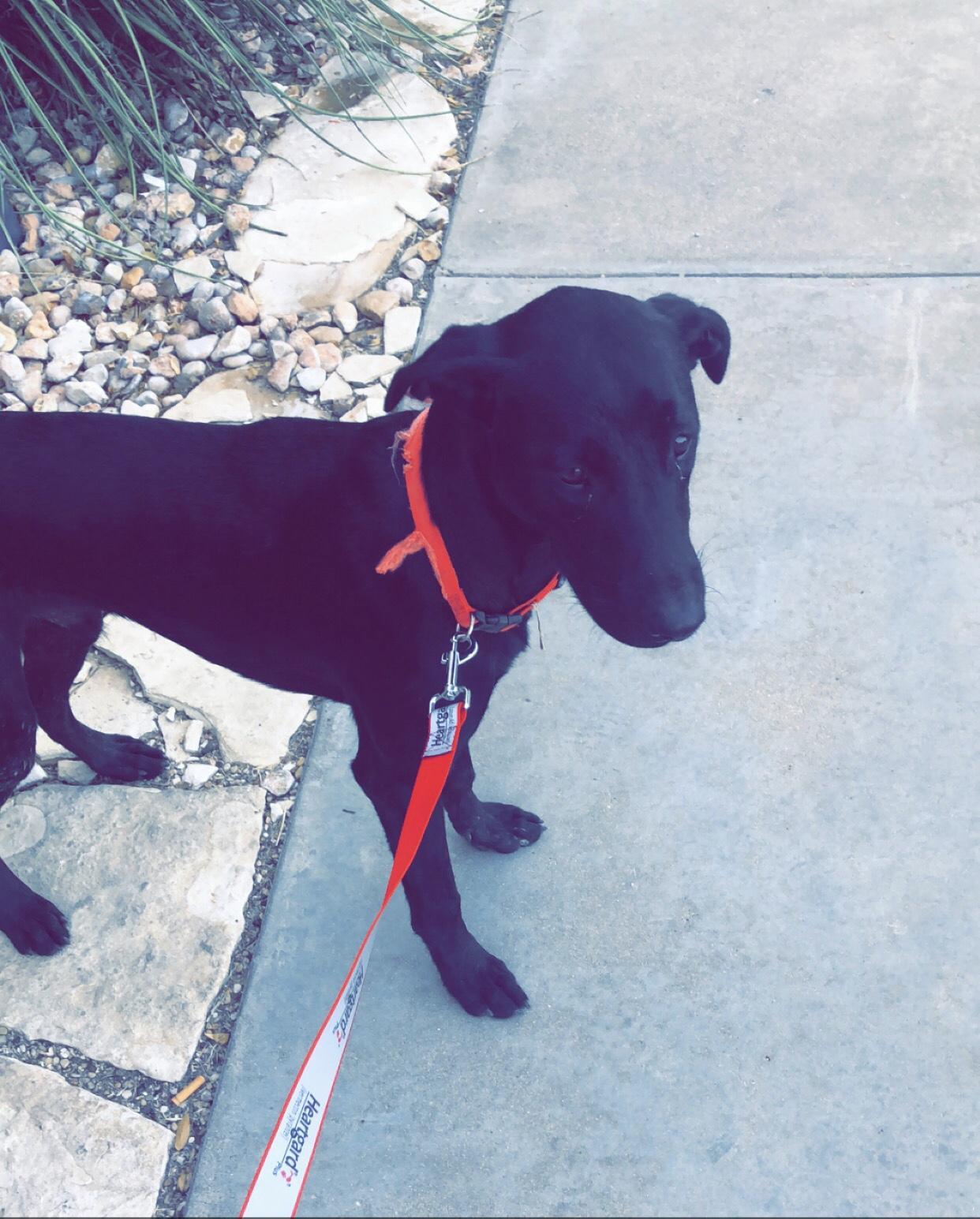 Found Dog   Male   Labrador Retriever