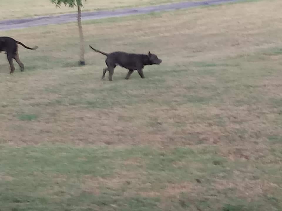Found Dog   Male   Great Dane