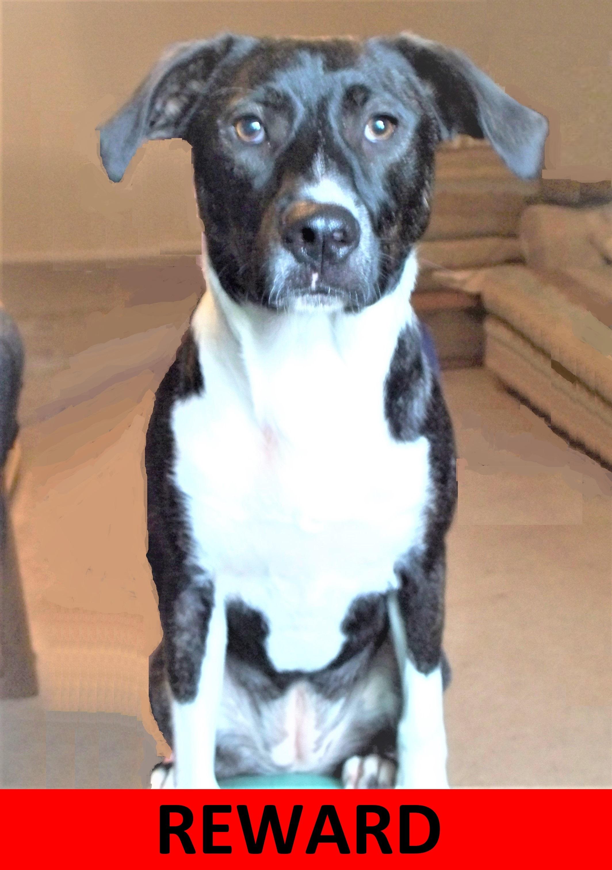 Lost Dog  Luckie Female Vizsla American Staffordshire Terrier Mix   1000 REWARD