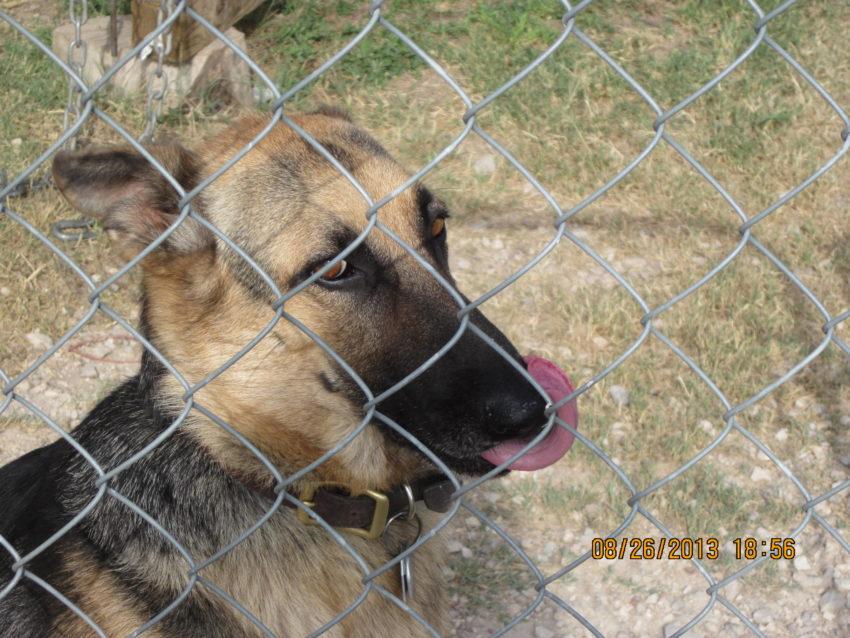 Lost Dog  Mona Female   German Shepherd