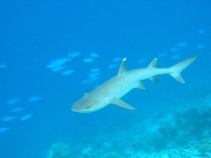 Whitetip-reef-shark