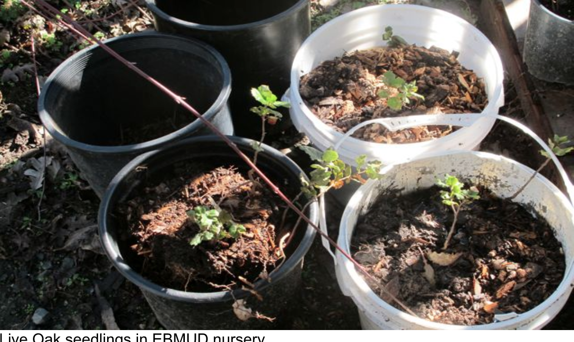 Live_Oak_seedlings