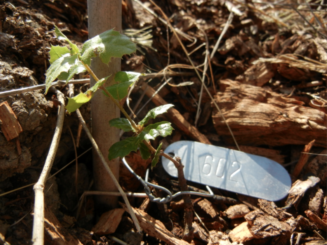 Tagged_Oak_seedling.