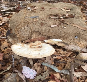 Unidentified polypore on stump