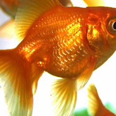 Expensive operation for constipated goldfish