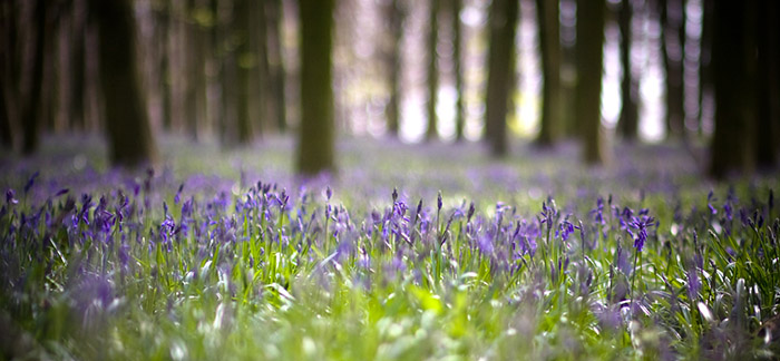 Bluebells by Angie Muldowney - Flickr Creative Commons.