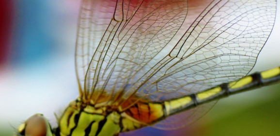 Gifts for Animal Lovers: Dragonflies