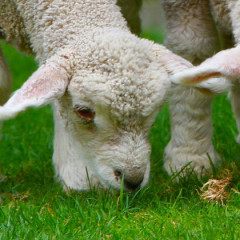 Gifts for Animal Lovers: Lambs and Sheep