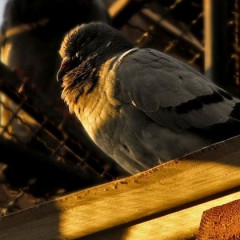 All the Queen's … Pigeons
