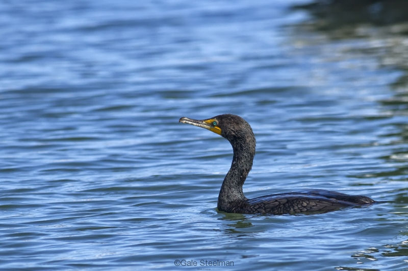 Double-crested Cormorant with the Aqua Eyes_MG_0471-74