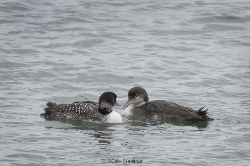 Common Loon Pair_MG_5853
