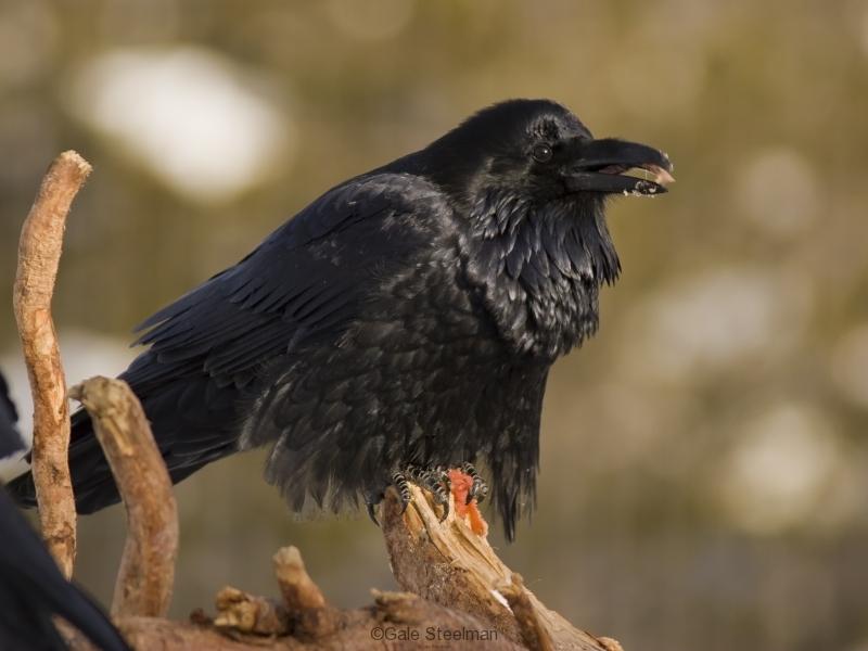 Common Raven IMG_4971