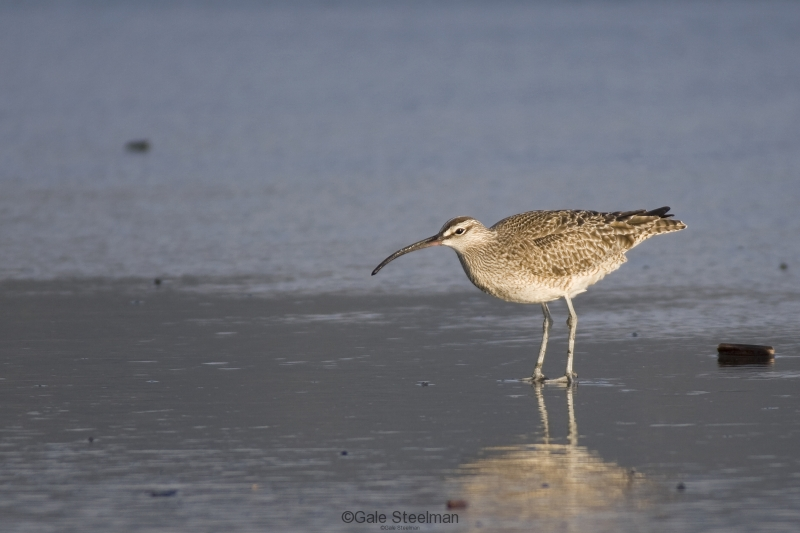 Whimbrel IMG_13721