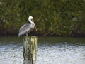 Brown Pelican on a Post_MG_2925