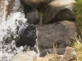 Common Raven in Front of Waterfall_MG_7176.jpg