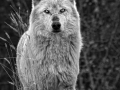 Timber Wolf on the Hill BW_MG_7544