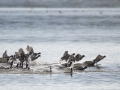 Coot Migration_MG_3090