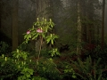 Rhododendron_MG_1680