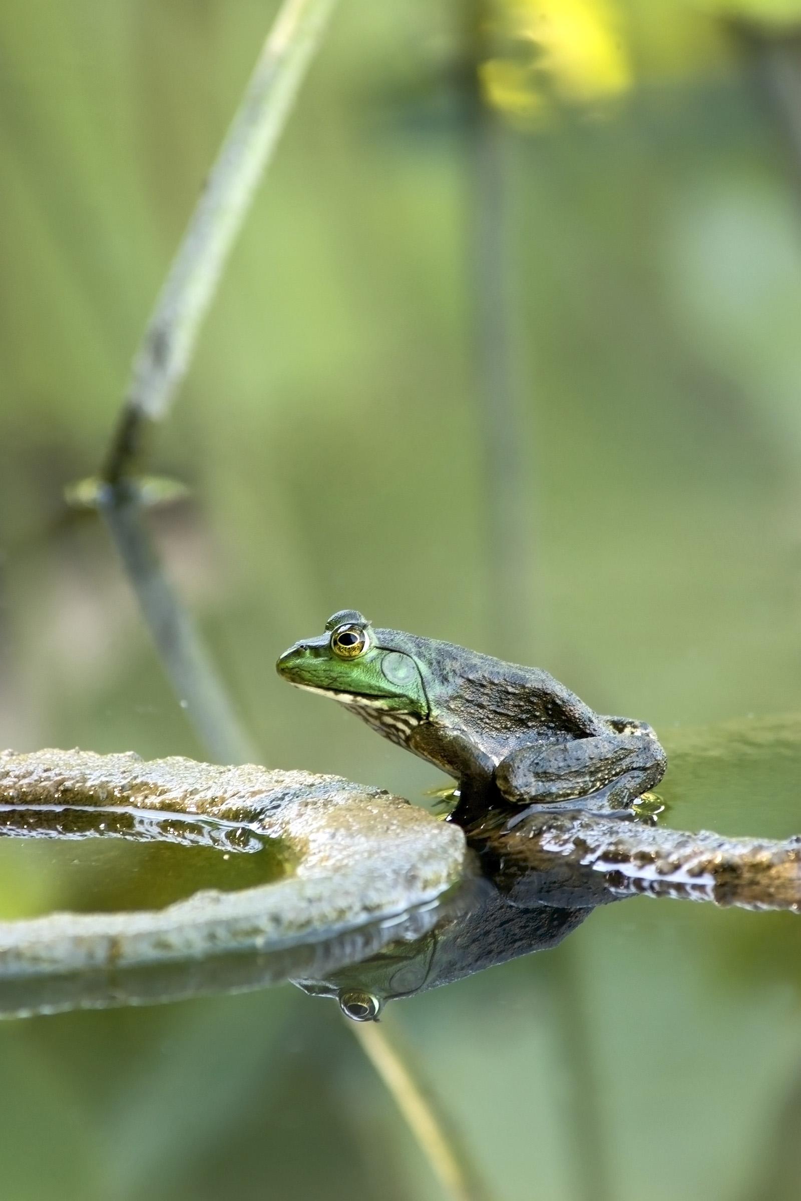 American Bullfrog Juvenile IMG_7905
