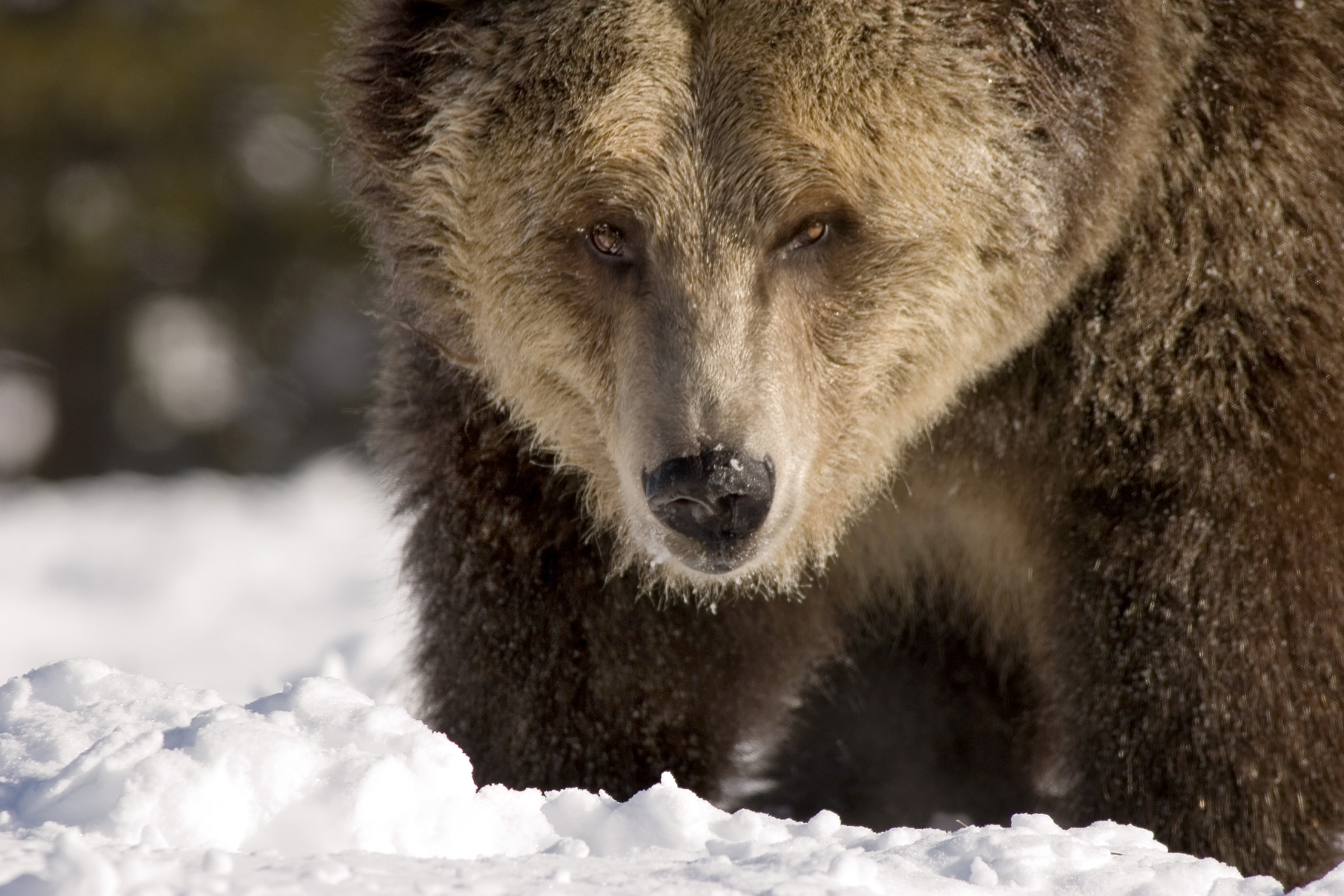 Grizzly IMG_4705