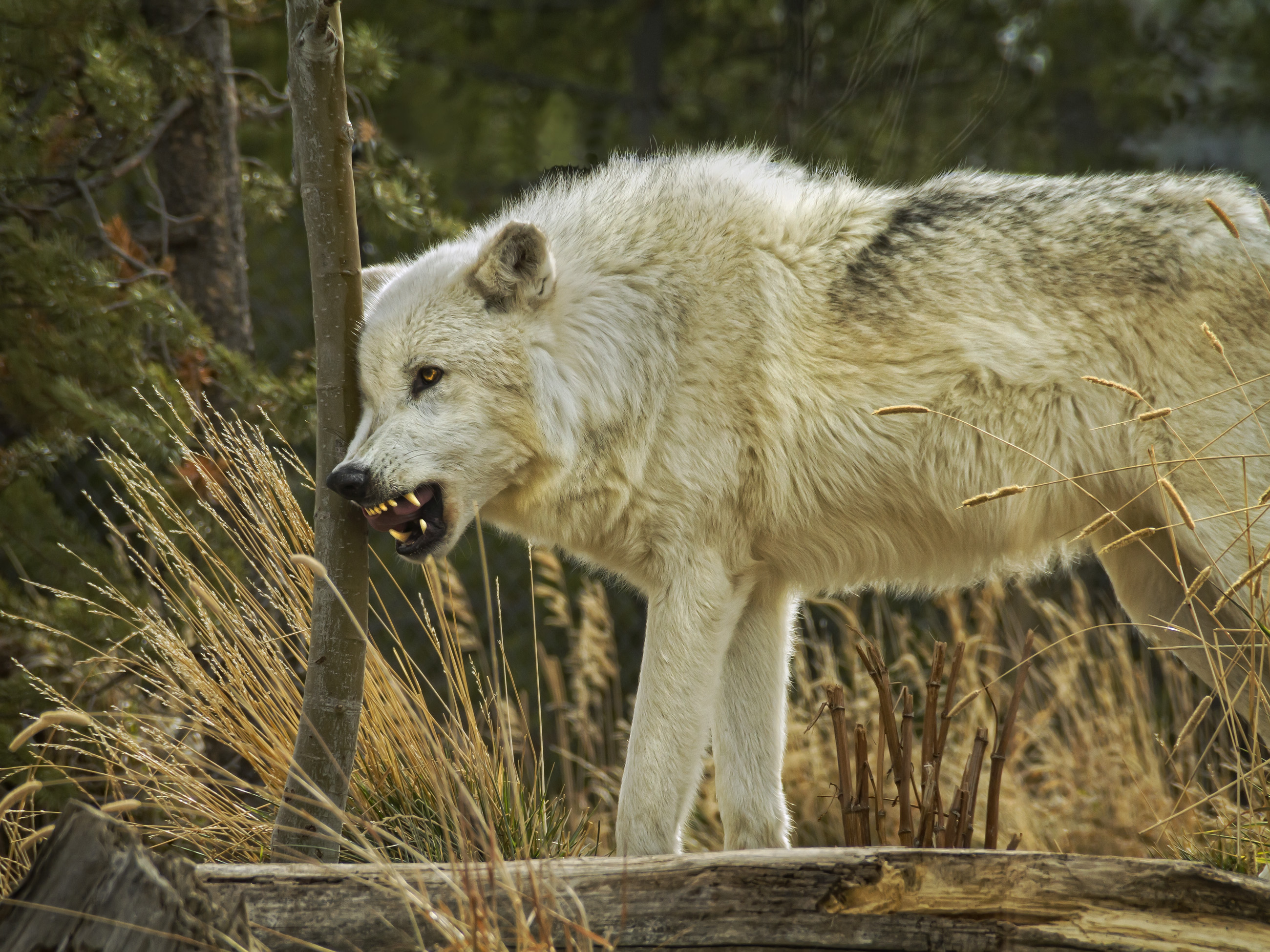 Timber Wolf Growling and Rubbing Tree_MG_7434