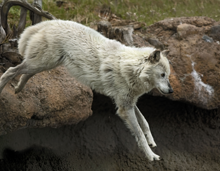 Timber Wolf Jumping Off Ledge_J9A1789