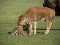 Baby Bison _J9A1142