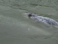 Gray Whale Baby with Mother_MG_8023
