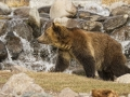 Grizzly Bear in Front of Waterfall_MG_7783