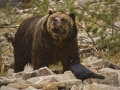 Grizzly Bear_MG_7944