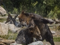 Grizzly Bears Playing in Water_J9A0741