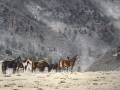 Wild Mustang Herd in Snow IMG_9629