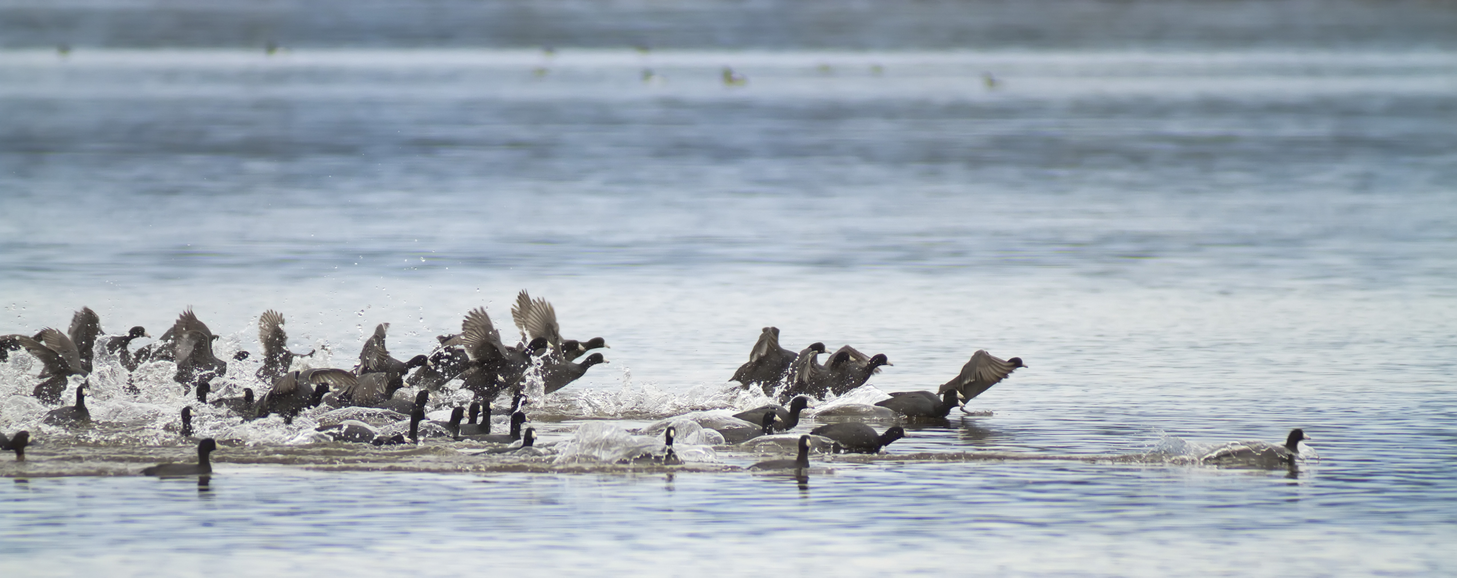 American Coots take off during fall migration at Lake Earl in Del Norte County, California