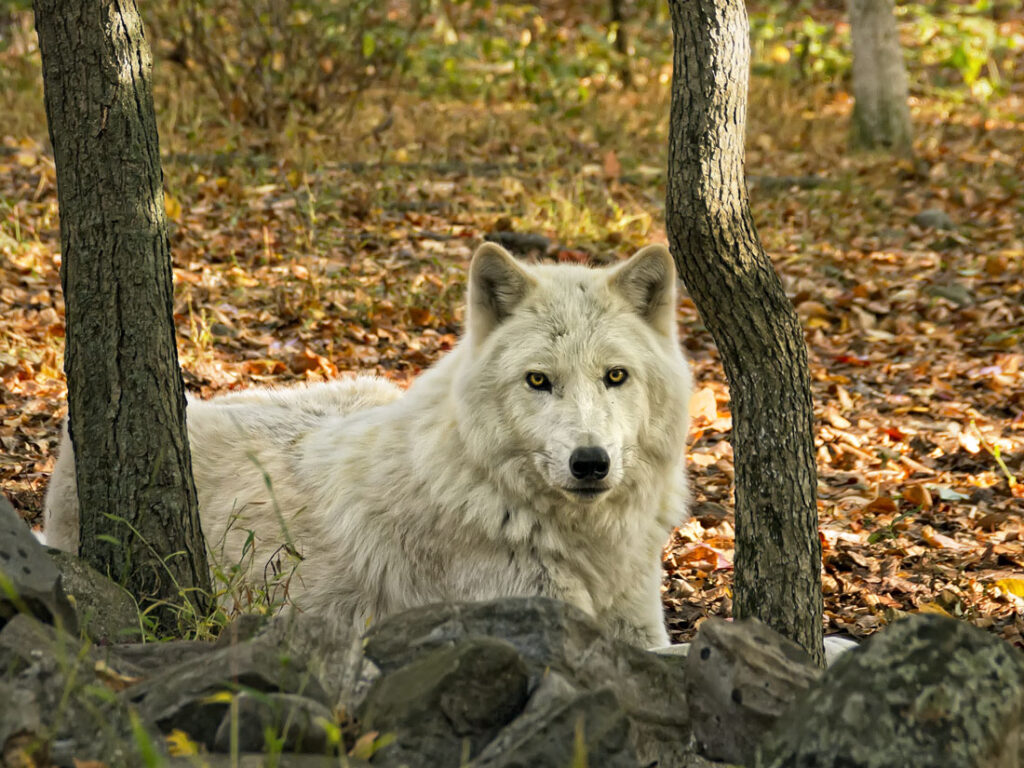 Tundra Wolf Lying Between the Trees
