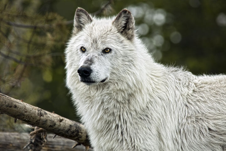 Timber Wolf Gazing Off into the Distance