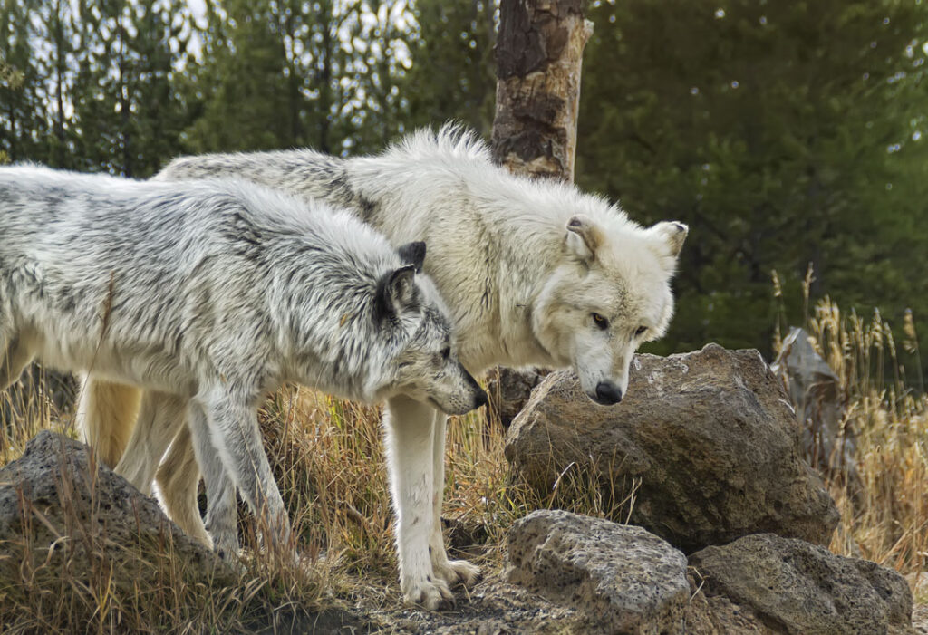 Timber Wolves My Apologies