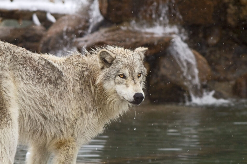 Timber Wolf Drinking