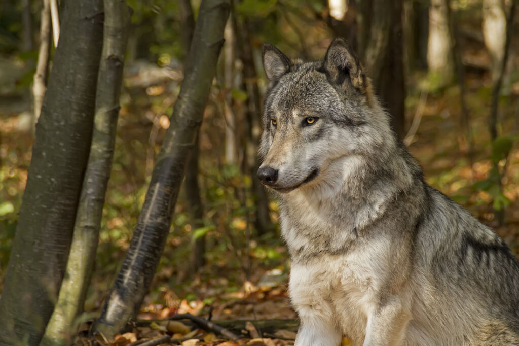 Timber Wolf Sitting and Waiting