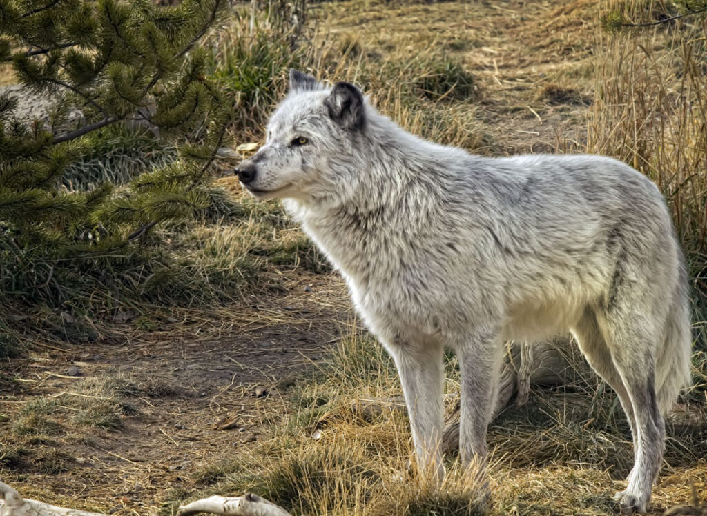 Timber Wolf on Watch
