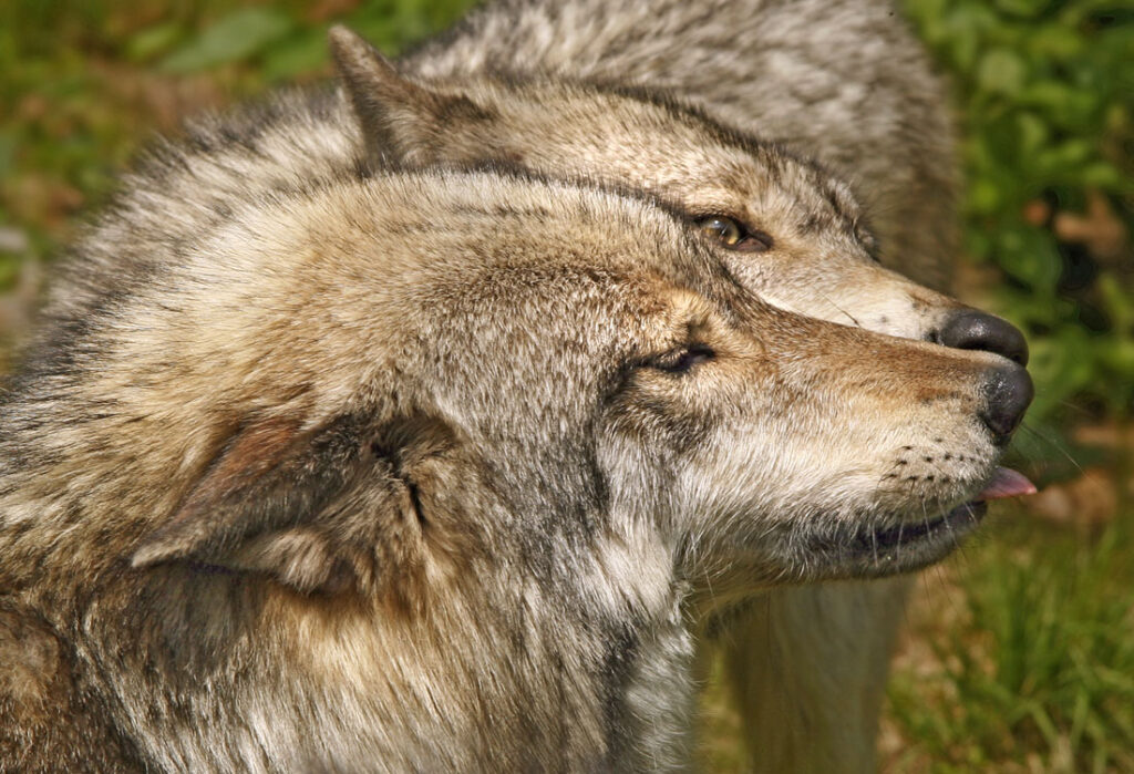 Timber Wolves Kissing