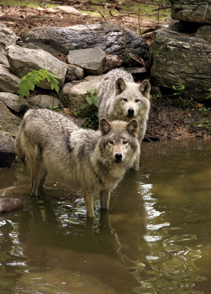 Timber Wolves in Swimming Hole
