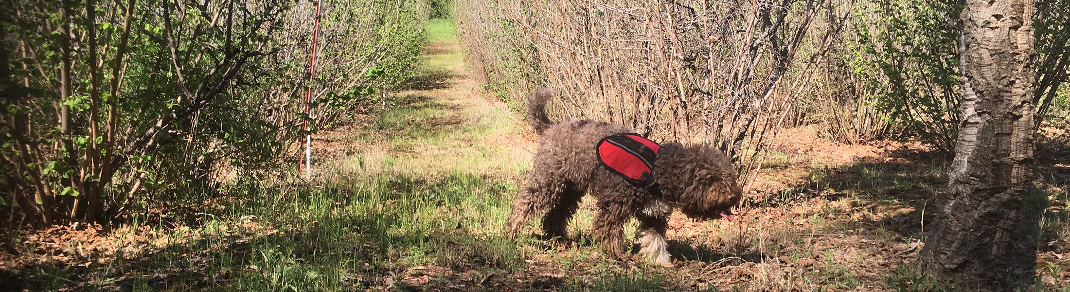 Truffle Hunting Dogs