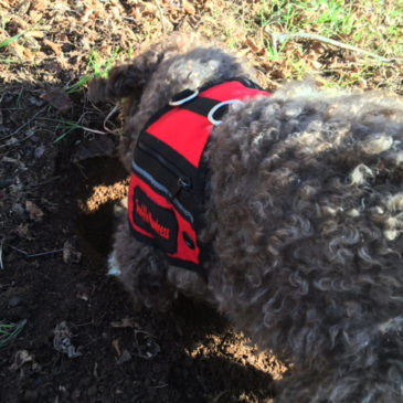 This trained dog digs up buried treasure worth as much as $900 a pound