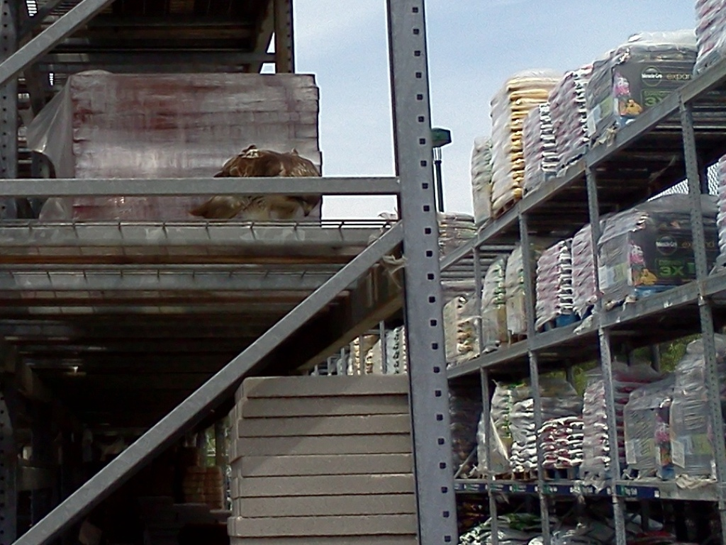 Large eagle in lumber department.