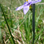A close-up photograph of the purple flower of blue-eyed grass.